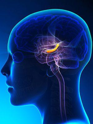 Гиппокамп-Brain-женщина-2-большой bigstock.jpg